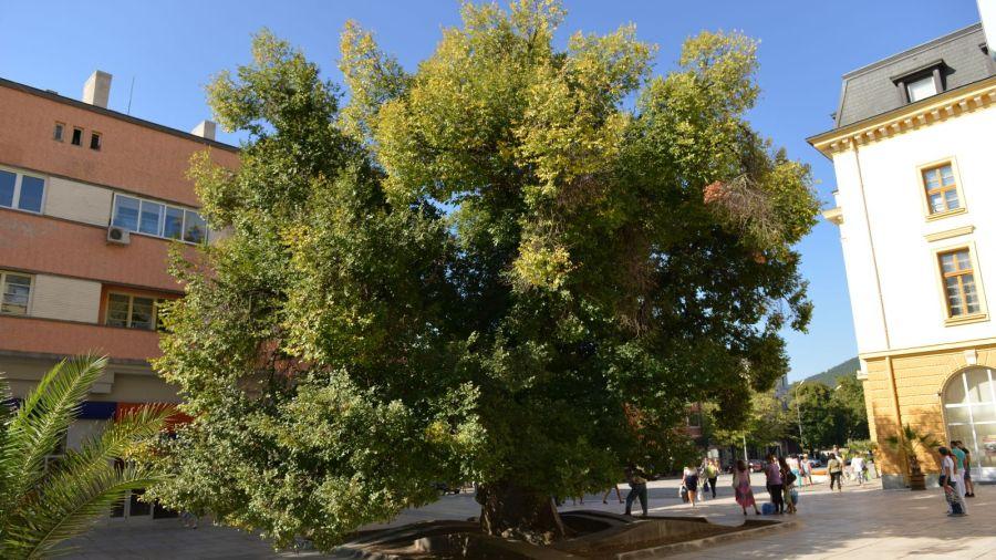 Сливенският бряст стана евродърво на годината