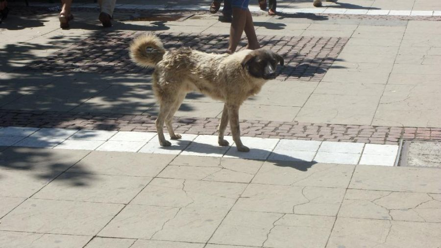 Ухапванията от кърлежи зачестяват, Стара Загора готви стратегия за намаляване популацията на бездомните кучета