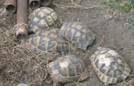 Инспектори от Стара Загора конфискуваха 20 сухоземни костенурки