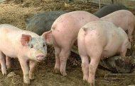 БАБХ: Само стопаните, отглеждали до 5 прасета, ще получат по 300 лв. за дезинфекция