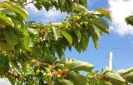 Добра реколта от черешова градина на топ ниво очакват производители от Стара Загора