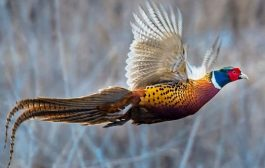 Стартира ловният сезон за пернат дивеч