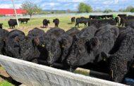 """94 чистокръвни говеда """"Галуей"""" пристигнаха от Германия в база на Тракийския университет"""