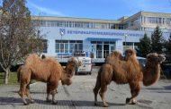Уникална операция на камила направиха ветеринари от Тракийския университет