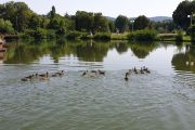 """20 зеленоглави патета-тийнейджъри заплуваха във водите на """"Загорка"""""""