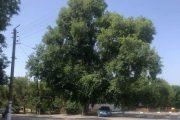 Вековен полски бряст в Старозагорско е обявен за защитено дърво